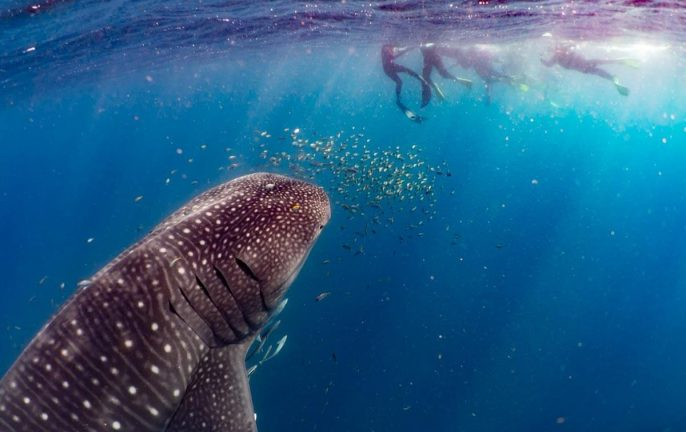 Women Want Adventure: Swimming with whale sharks on the Ningaloo Reef