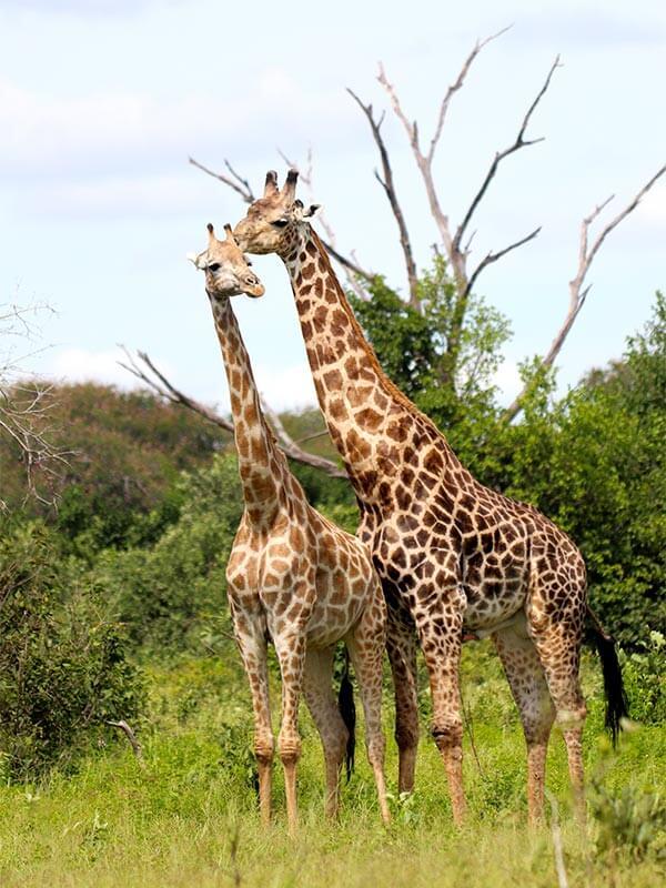A tall wildlife order in Botswana